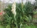 le yucca Pb090010