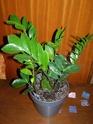 Zamioculas Pb090011