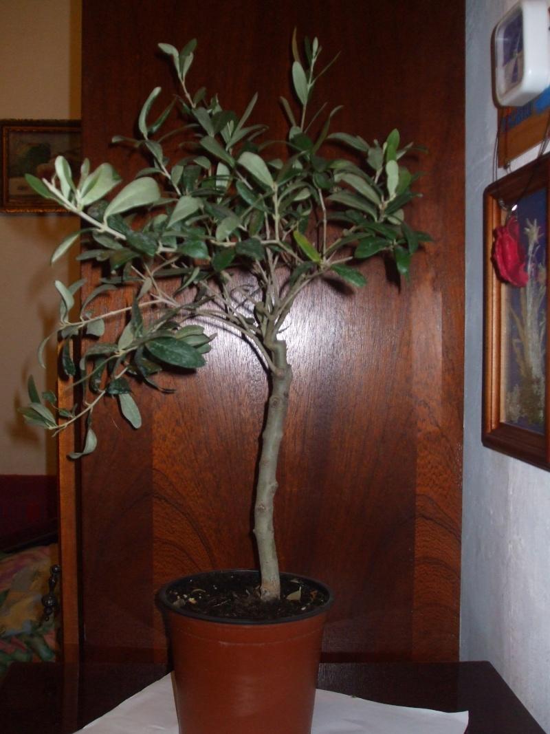 La culture et l'entretien de l'olivier- -Olea Europea Dscf5011