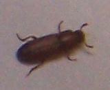 Demande d'identification insecte (avec photos) 11_bmp10