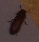 Demande d'identification insecte (avec photos) 9_bmp10