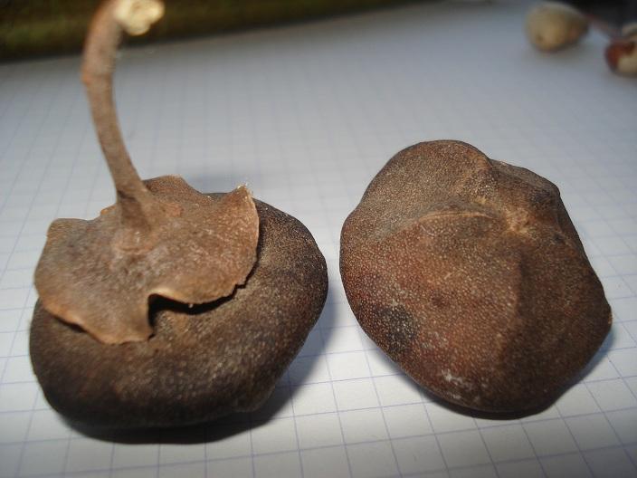 graines de l'ile de la réunion Dsc00411