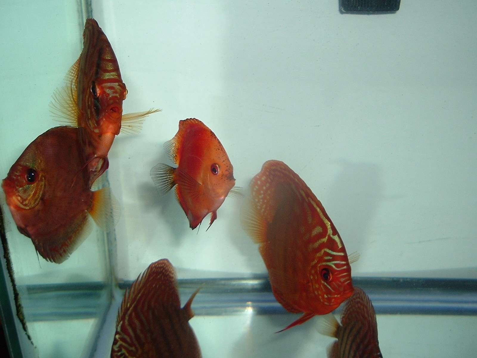 My Discus Pics!! (everything for sale now!!) 110