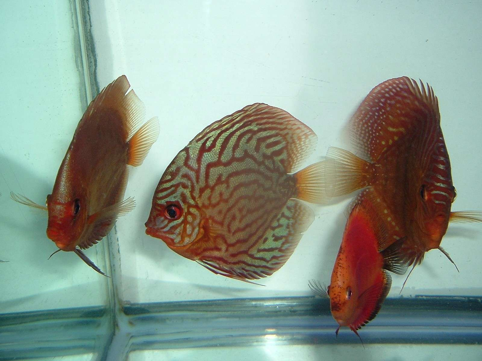 My Discus Pics!! (everything for sale now!!) 410