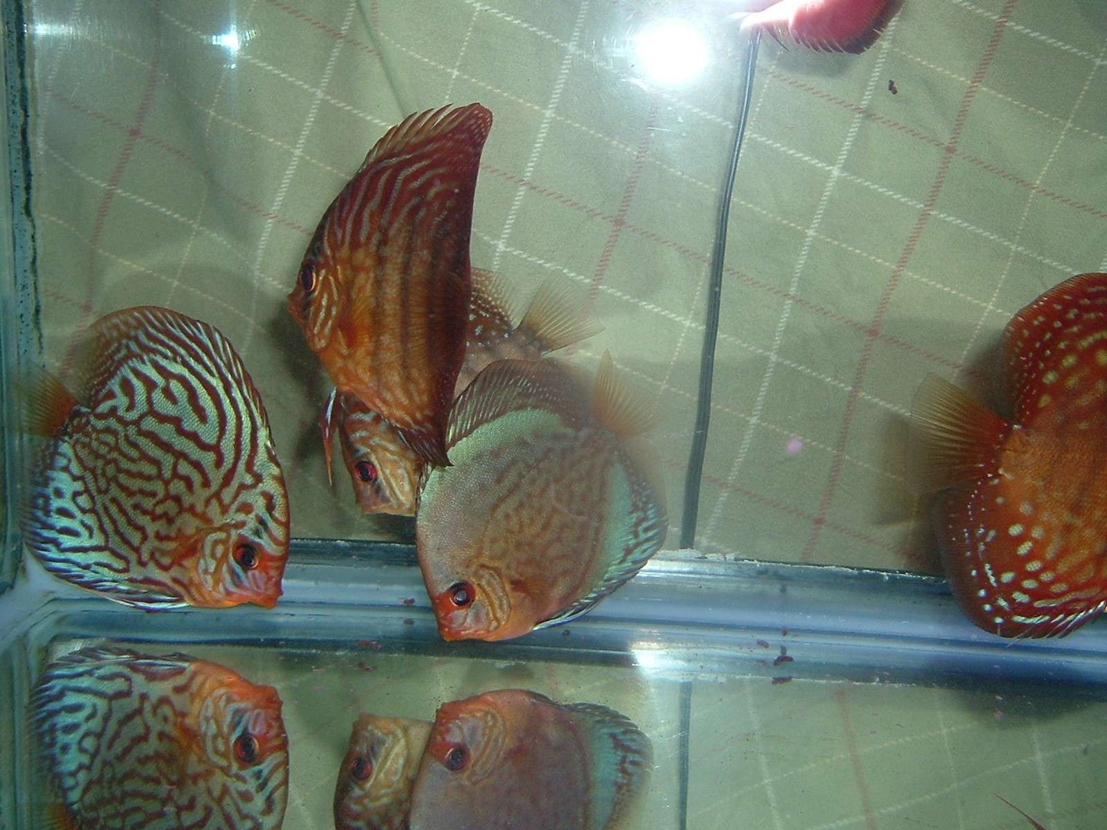 My Discus Pics!! (everything for sale now!!) 810