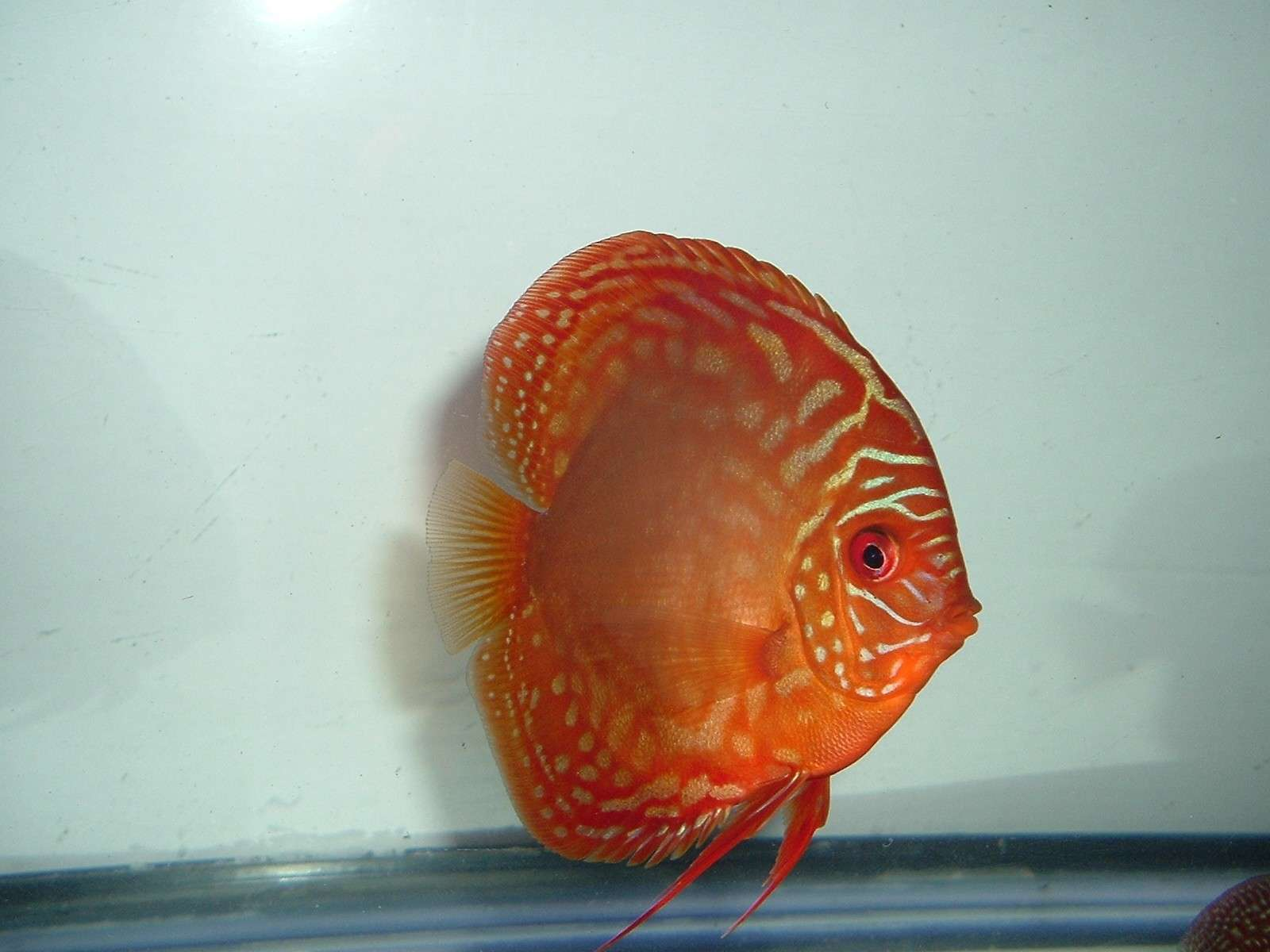 My Discus Pics!! (everything for sale now!!) Potm_y10