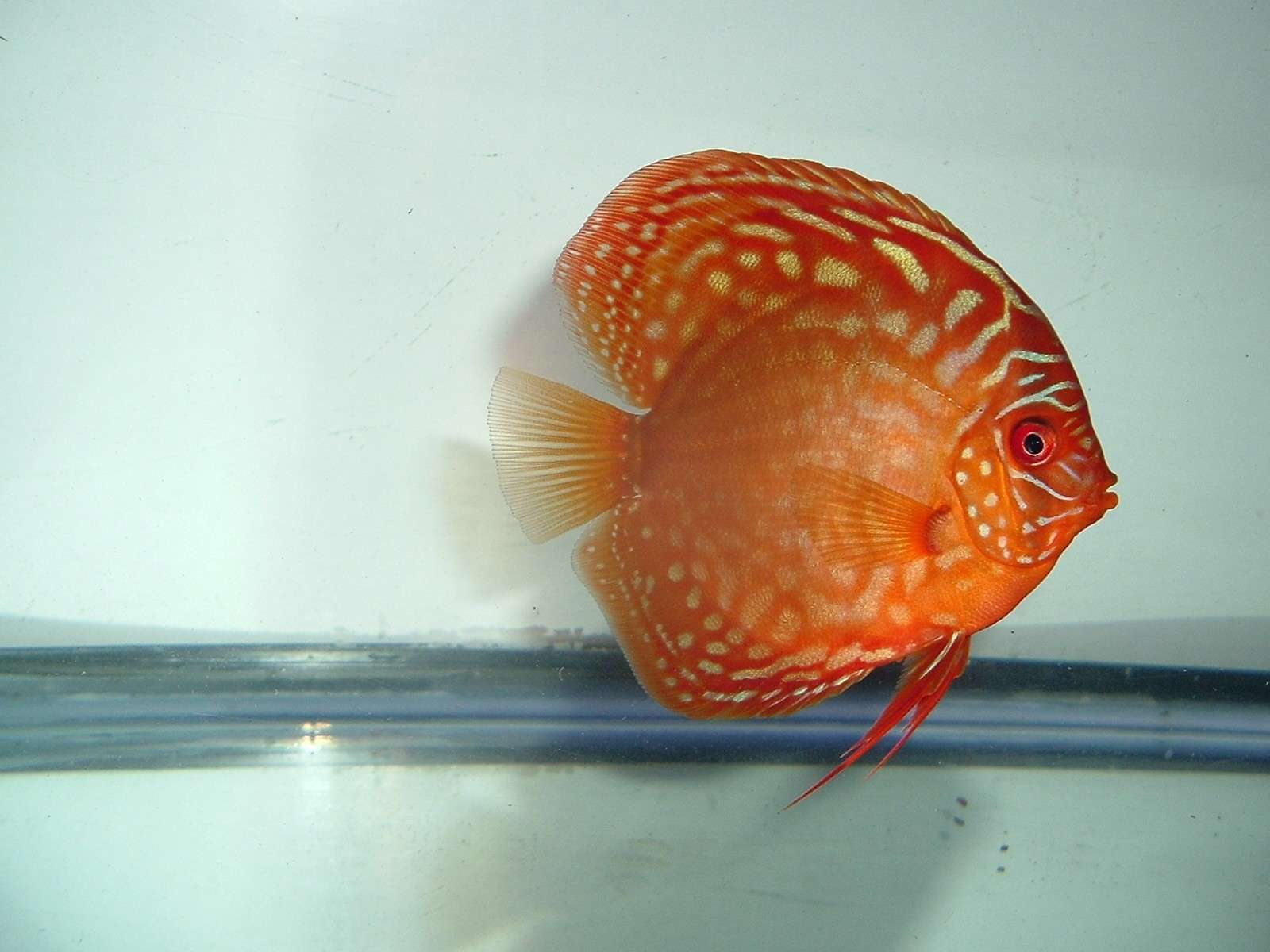 My Discus Pics!! (everything for sale now!!) Yes210