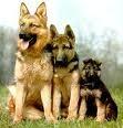 Votre race de chien préférée? Untitl10