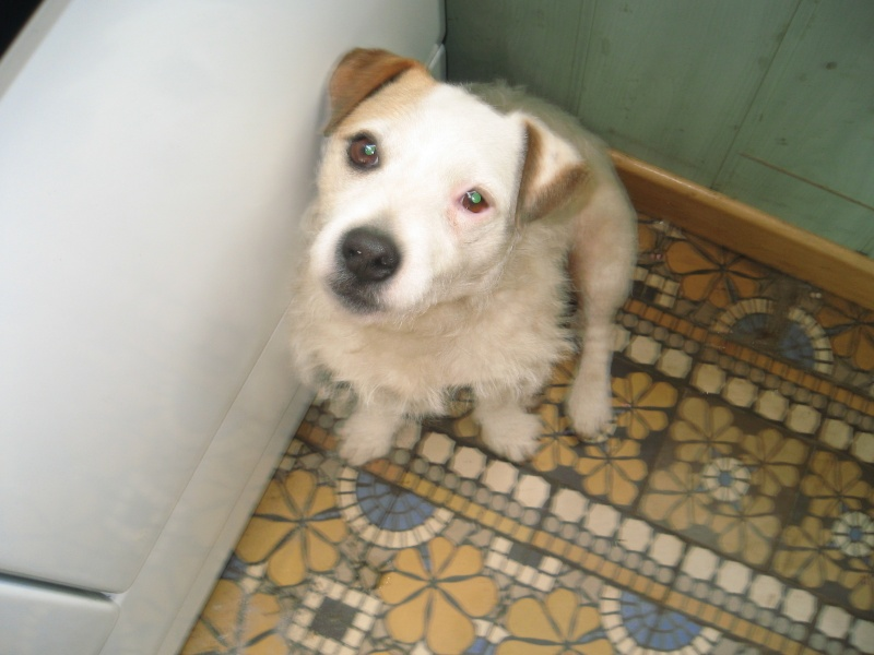 abricot jack russell 5 ans   Abrico11
