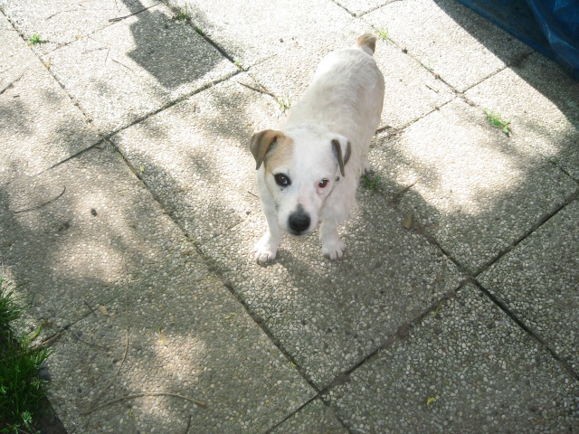 abricot jack russell 5 ans   Abrico13