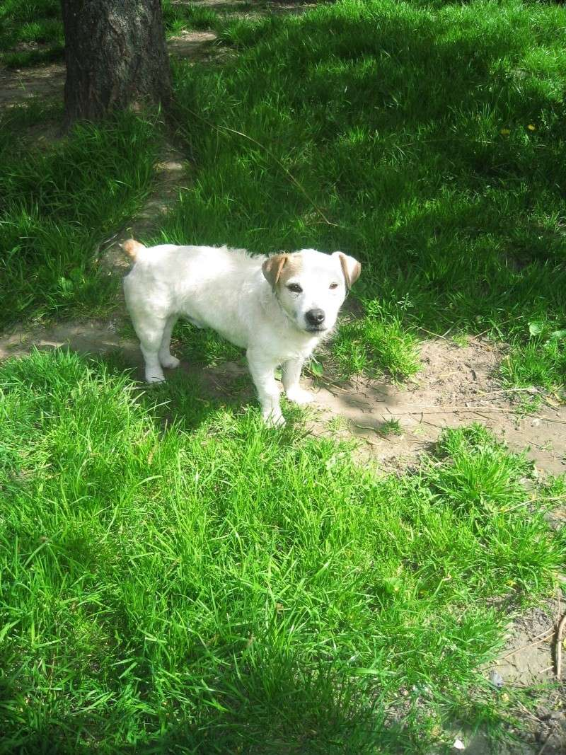 abricot jack russell 5 ans   Abrico15