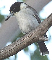 Les oiseaux des jardins australiens Butche10