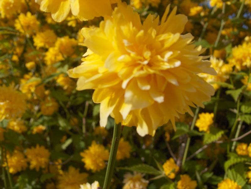 Floraisons du mois d'avril Corate10