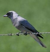 Les oiseaux des jardins australiens Cucko_10