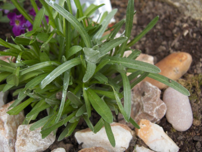 la culture de l'édelweiss /Leontopodium Alpinum Edelwe10