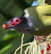 Les oiseaux des jardins australiens Figbir10