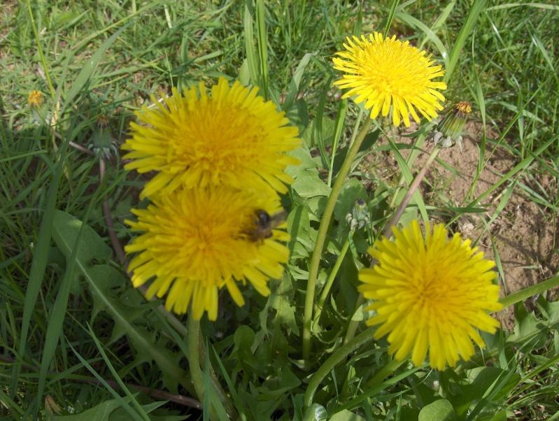 un pissenlit imménse Fleurs11