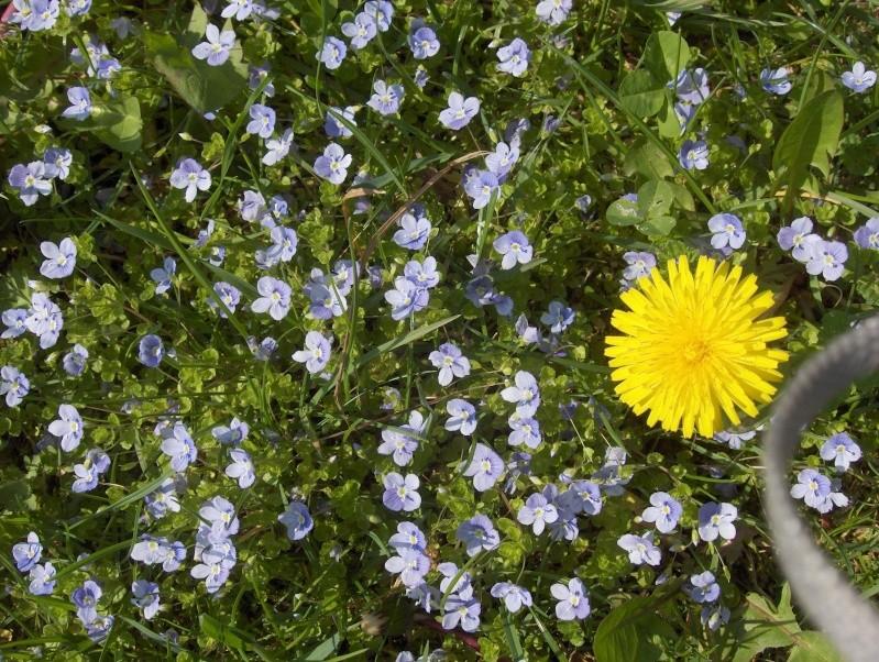 un pissenlit imménse Fleurs12