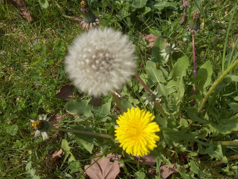 un pissenlit imménse Fleurs13