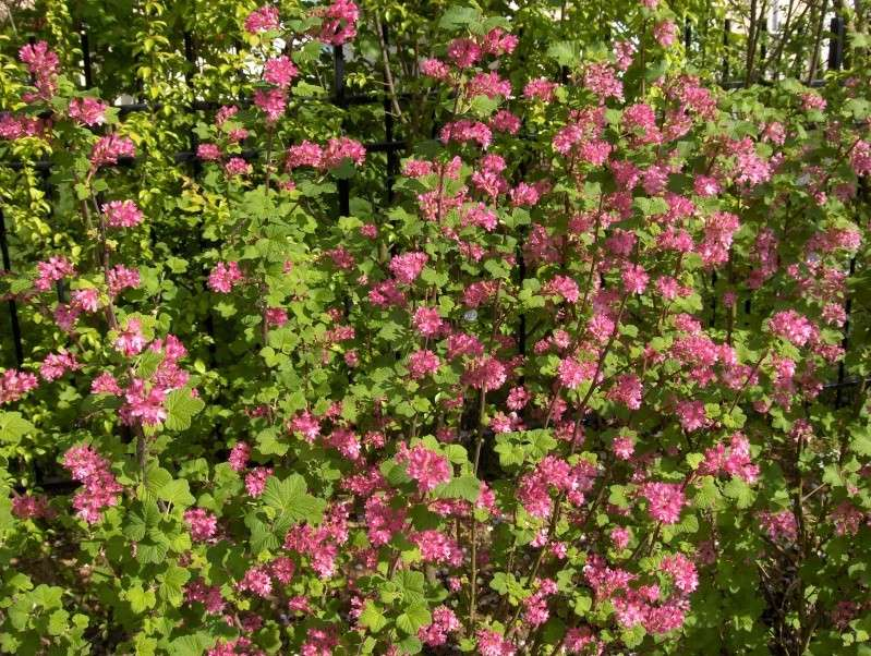 Floraisons du mois d'avril Grosei10