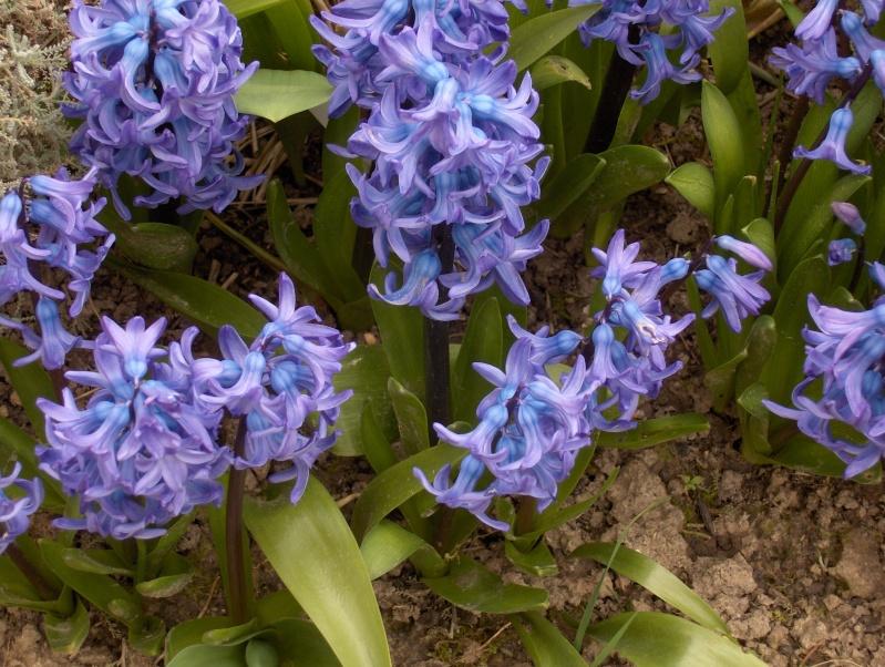 Les fleurs de mon jardin Hpim2013