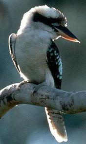 Les oiseaux des jardins australiens Kookab10