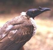 Les oiseaux des jardins australiens Noisy_10