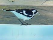 Les oiseaux des jardins australiens Peewee10