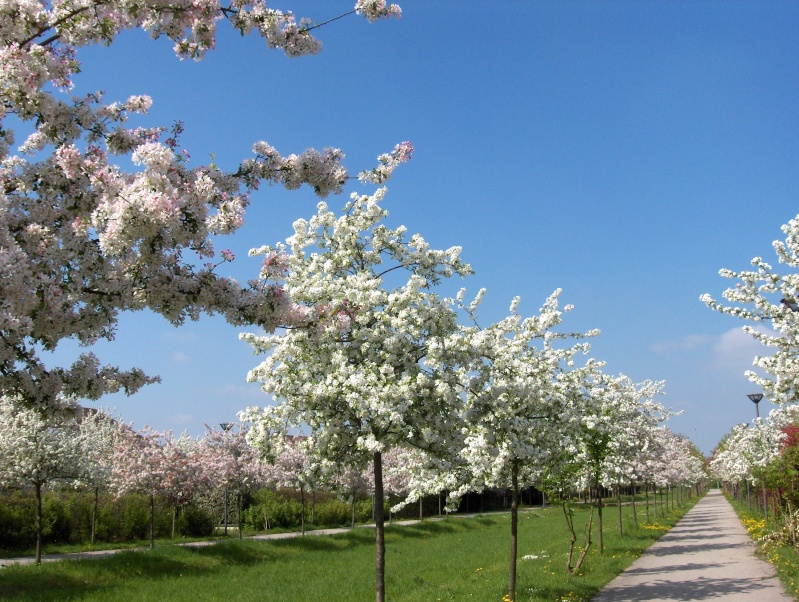 Floraisons du mois d'avril Pommie10