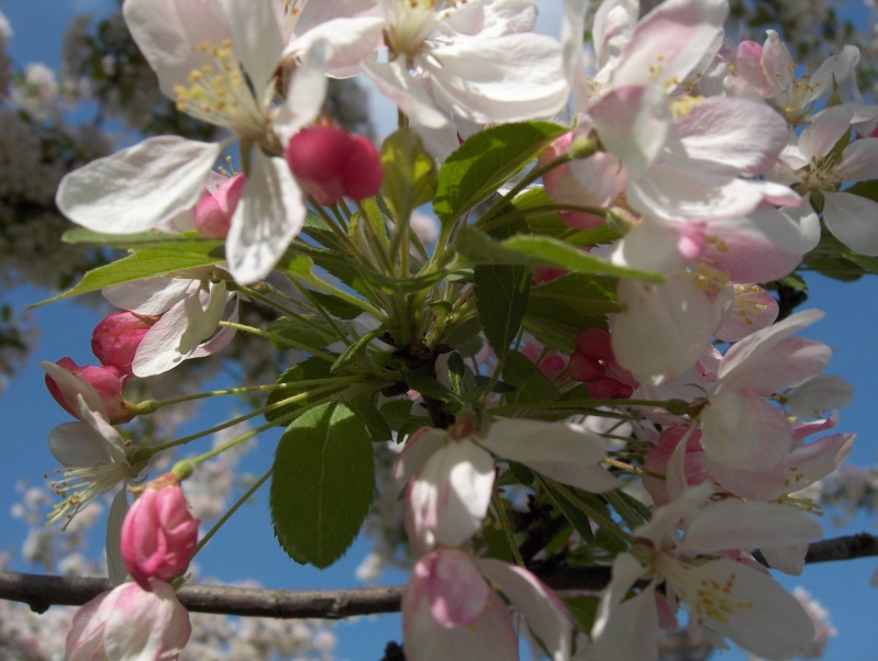 Floraisons du mois d'avril Pommie12
