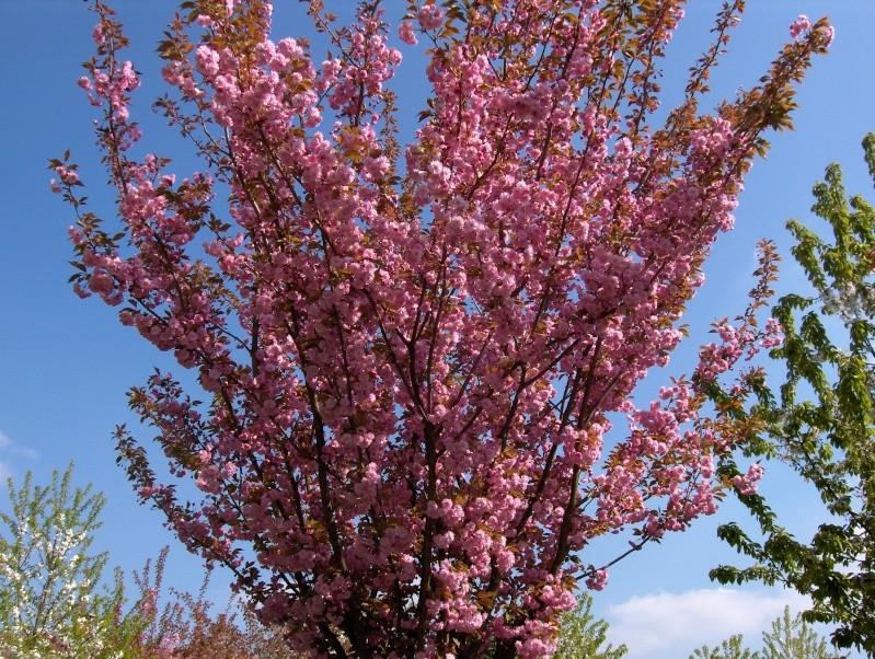 Floraisons du mois d'avril Prunus10