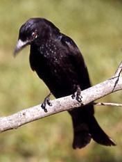 Les oiseaux des jardins australiens Spangl10