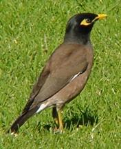 Les oiseaux des jardins australiens Starli11