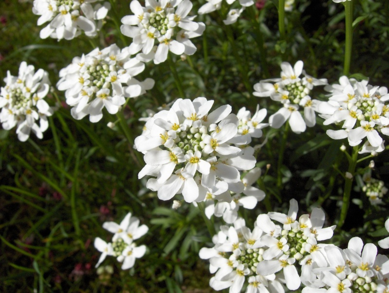 Floraisons du mois d'avril Thalis10