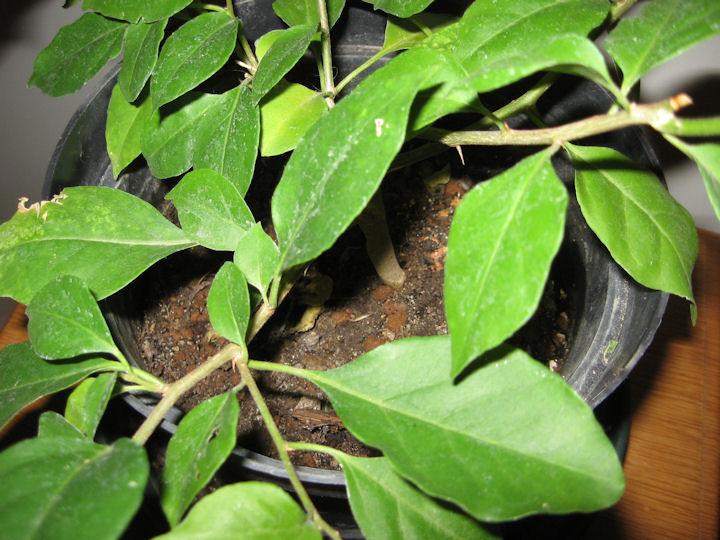 Bouganville (forse bonsai tra qualche anno) Img_0011