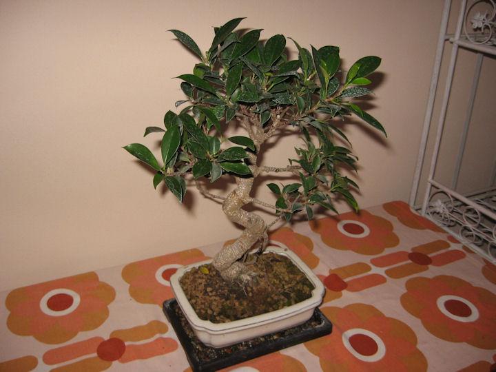 Ficus Retusa da impostare Img_0016