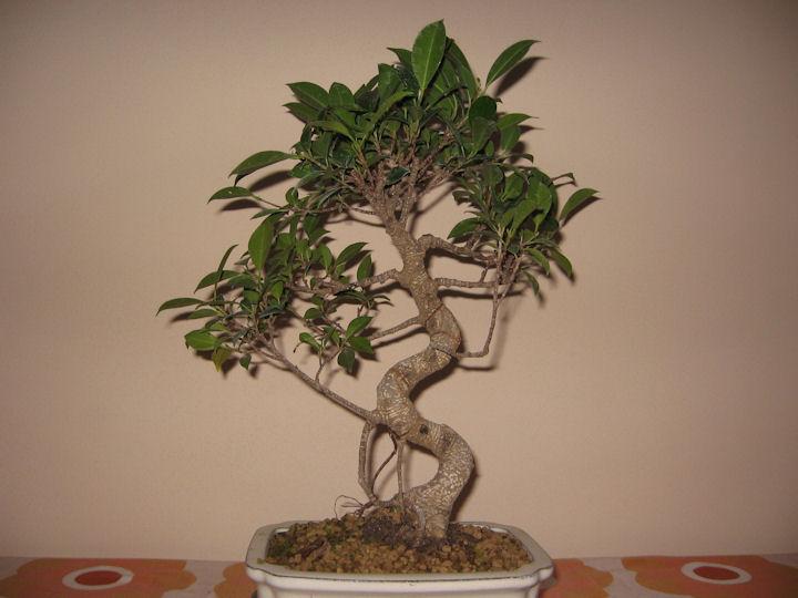 Ficus Retusa da impostare Img_0017