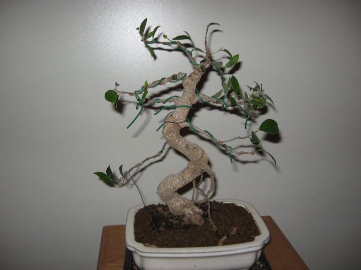 Ficus Retusa da impostare Img_0018