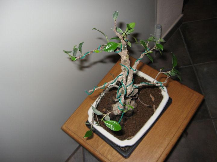 Ficus Retusa da impostare Img_0019