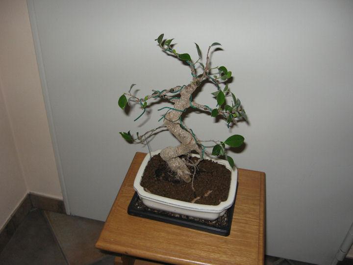 Ficus Retusa da impostare Img_0020