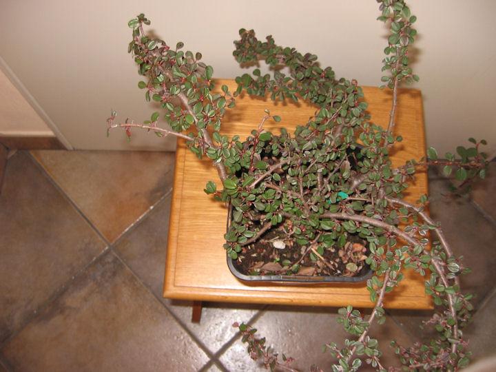 Cotoneaster salicifolia da impostare Img_0026