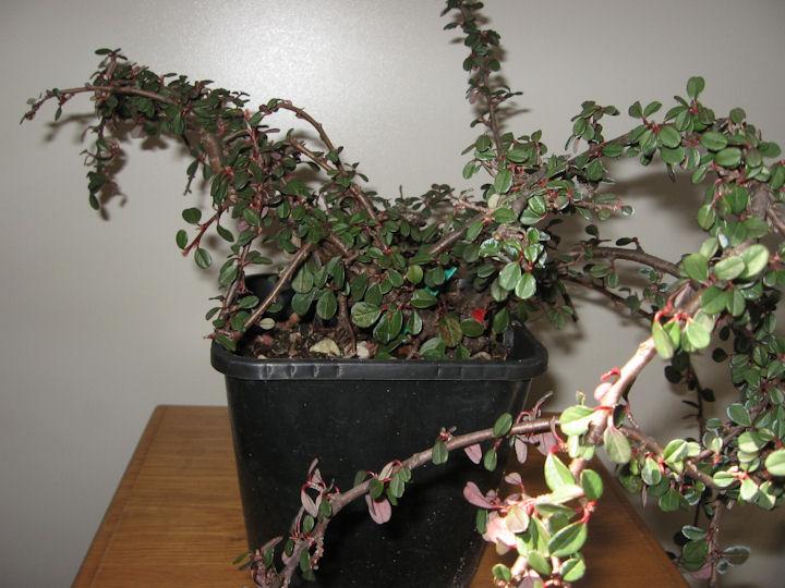 Cotoneaster salicifolia da impostare Img_0027