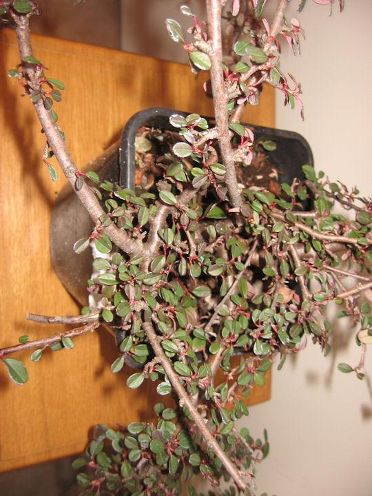 Cotoneaster salicifolia da impostare Img_0028