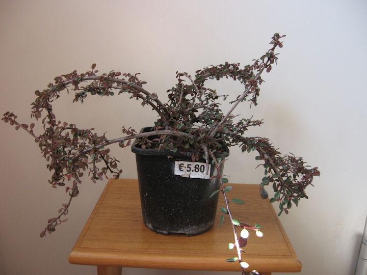 Cotoneaster salicifolia da impostare Img_0029