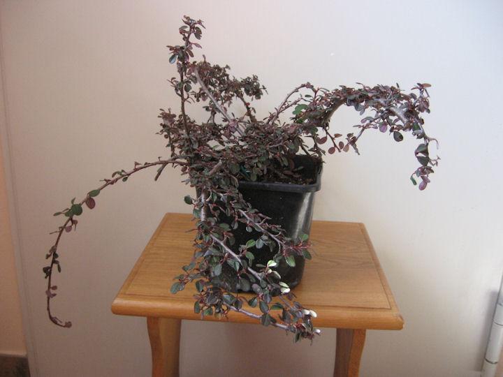 Cotoneaster salicifolia da impostare Img_0111