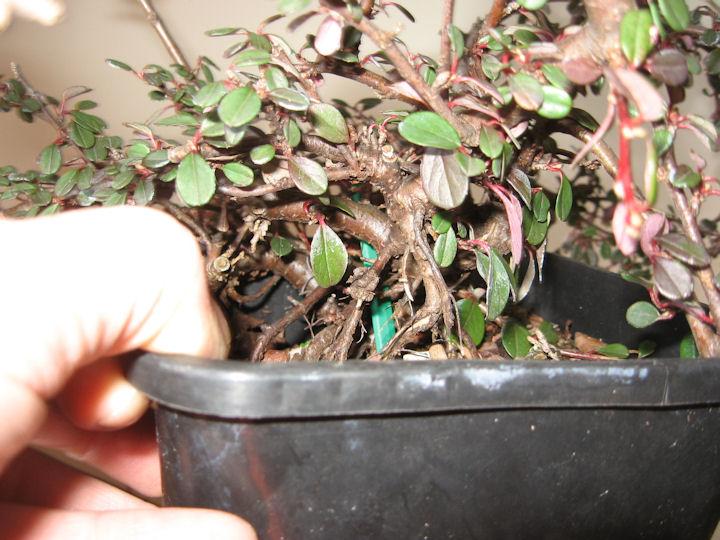 Cotoneaster salicifolia da impostare Img_0113