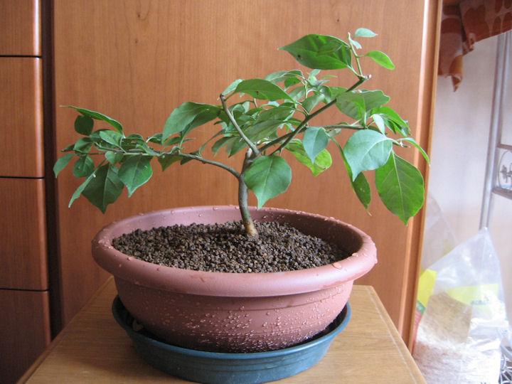 Bouganville (forse bonsai tra qualche anno) Img_0311