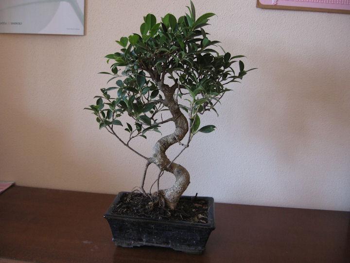 Ficus Retusa da impostare Img_0412