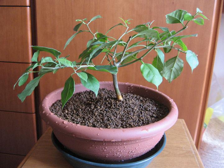 Bouganville (forse bonsai tra qualche anno) Img_0414