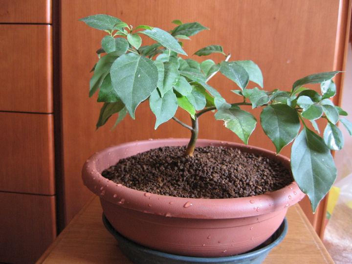 Bouganville (forse bonsai tra qualche anno) Img_0415